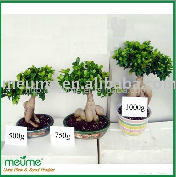 Chinese Ficus Microcarpa Bonsai for sale 4