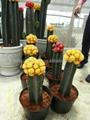 Mini Indoor Tropical Succlent Plants Cactus 3