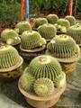Mini Indoor Tropical Succlent Plants Cactus 4
