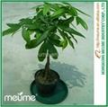 Mini 5 Braided Money tree (Pachira)