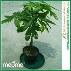 Mini 5 Braided Money tree (Pachira) House Plants
