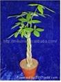 Mini 5 Braided Money tree (Pachira) House Plants  2