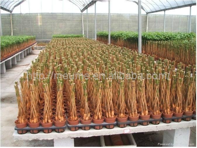 Mini 5 Braided Money tree (Pachira) House Plants  3