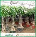 Mini 5 Braided Money tree (Pachira) House Plants  5