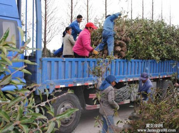 大量高杆冬青苗木出售 1