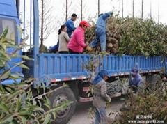 大量高杆冬青苗木出售