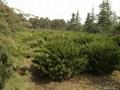 大量高杆冬青苗木出售 3
