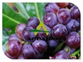 Grape Seed Powder Extract