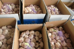 Jinxiang Fresh Normal White Garlic 10kg per carton packing*