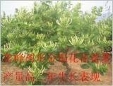 鲁峰王树形高产金银花 1