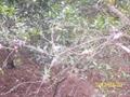 圈枝橘紅苗