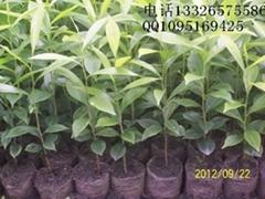 廣東省沉香苗
