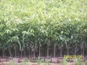 優質沉香樹苗 1