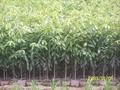 优质沉香树苗