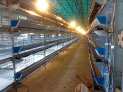 layer chicken poultry shed