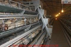 chicken layer farm