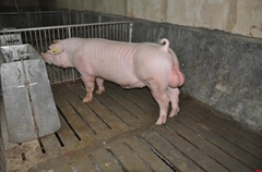 销售优质种猪