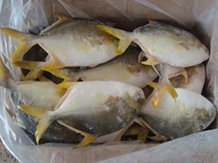 frozen golden pomfret