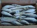 frozen blue mackerel