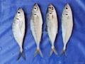 forzen Japanese horse mackerel
