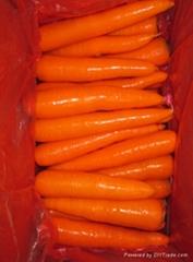河北新胡蘿蔔 S M L 2L 3L
