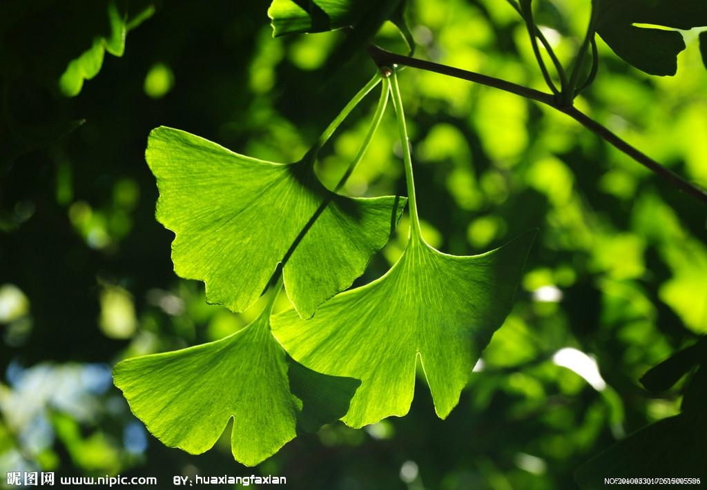 Ginkgo extract 1