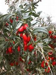 Organic Gojiberry