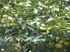 olive leaf extract in herbal