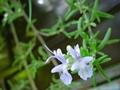 Supply Rosemary Extract Powder