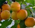 陝西金太陽杏