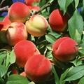陝西沙紅桃