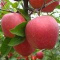 陝西藤木蘋果