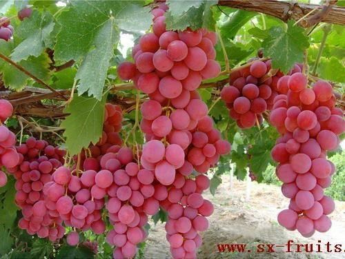 陝西紅提葡萄 1