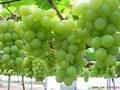 陝西紅提葡萄 2