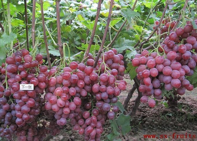 陝西紅提葡萄 3