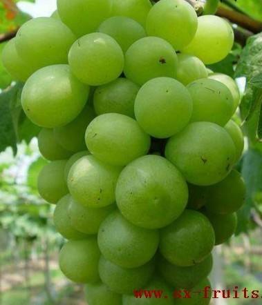 陝西紅提葡萄 4