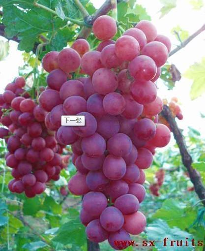 陝西紅提葡萄 5