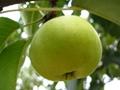 陝西紅香酥梨