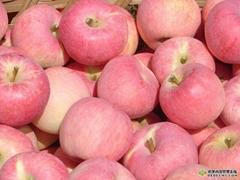 陕西红富士苹果