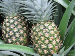 Extra Sweet Fresh Pineapple Golden MD2.