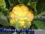 一代杂交新品种—黄色花菜种子