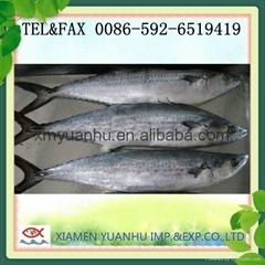 frozen spanish mackerel whole round fish
