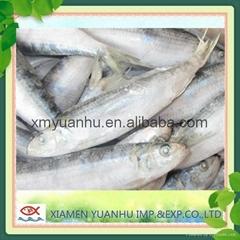 frozen bait sardine fish