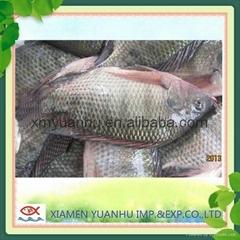 frozen fresh tilapia fish