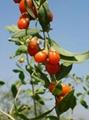 dried goji berry 280 grains/50g 3