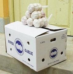 fresh normal white garlic