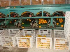 Fresh fruit Nanfeng mandarin orange