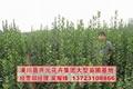 2米北海道黃楊