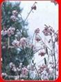 Dogbane Leaf (Luo Bu Ma Ye )Botanical