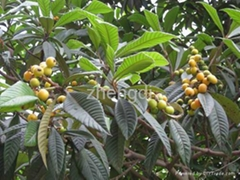 Ursolic Acid  leaf of Eriobotrya japonica extract plant extract